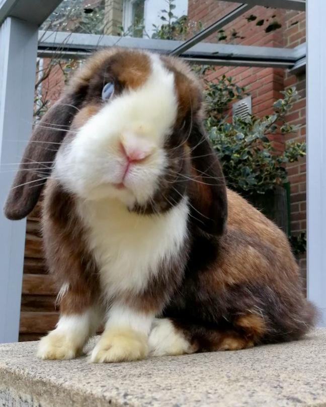 Sternguckerkrankheit Kaninchen